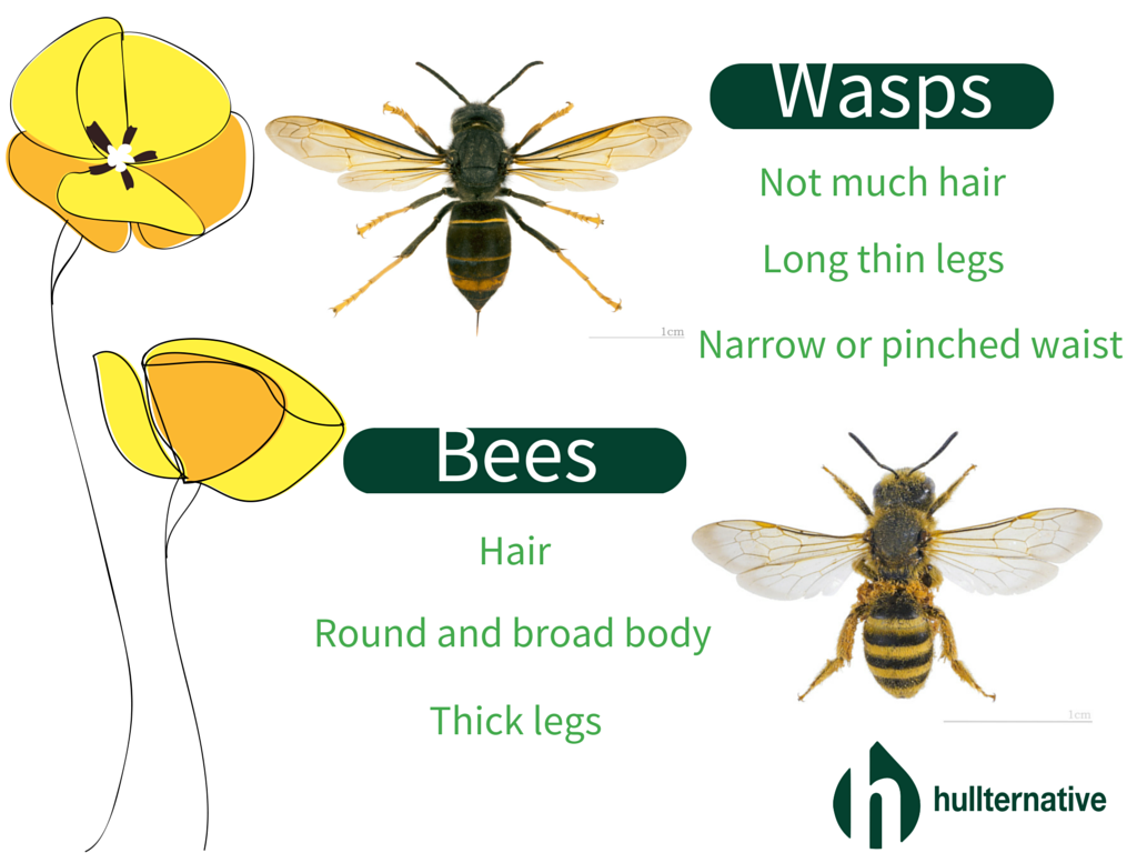 Wasps Vs Bees: What is the Difference? - Hullternative