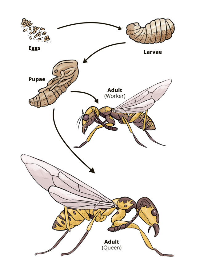 The Wasp Life Cycle When Do Wasps Die Off Hullternative